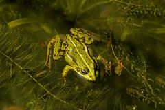 Rana esculenta - Edible frog Royalty Free Stock Image