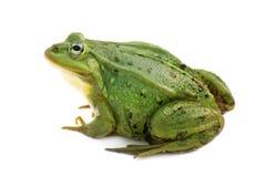Rana esculenta. Green ,European or water, frog on white background. Royalty Free Stock Photo