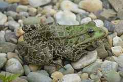 Rana esculenta - rana verde europea común Foto de archivo libre de regalías