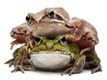 Rana europea común o rana comestible Imagen de archivo libre de regalías