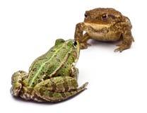 Rana europea común o rana comestible Imagen de archivo