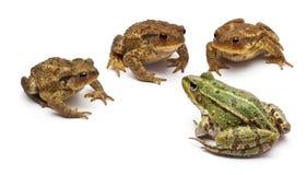 Rana europea común o rana comestible Fotografía de archivo libre de regalías