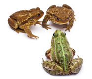 Rana europea común o rana comestible Imagenes de archivo