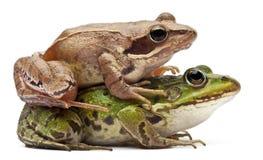 Rana europea común o rana comestible, Rana Imagen de archivo libre de regalías