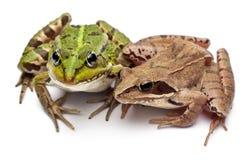 Rana europea común o rana comestible, Rana Imagen de archivo