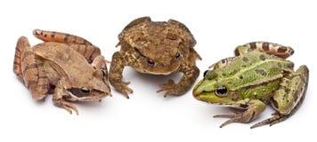 Rana europea común o rana comestible, Rana kilolitro. Fotos de archivo libres de regalías