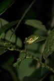 Rana Eyed roja Fotos de archivo