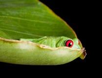 Rana eyed rossa che si nasconde in foglio Immagini Stock
