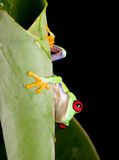 Rana eyed rossa dietro il foglio fotografia stock