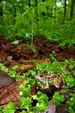 rana för grodapalustrispickerel Arkivfoton