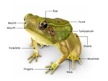 Rana frog Royalty Free Stock Image