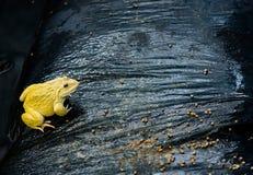 Rana gialla adulta che mangia alimento nell'azienda agricola della rana del ` s della Tailandia, primo piano di concetto Fotografie Stock