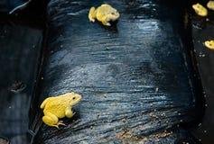 Rana gialla adulta che mangia alimento nell'azienda agricola della rana del ` s della Tailandia, primo piano di concetto Immagine Stock