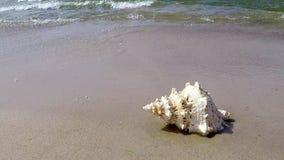 Rana gigante Shell en una playa almacen de metraje de vídeo