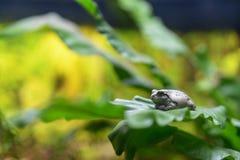 Rana gris en la hoja verde Fotografía de archivo libre de regalías