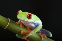 Rana loca verde foto de archivo libre de regalías