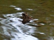 Rana luccicante in The Creek Fotografia Stock