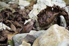 Rana-macrocnemis Stockfotografie