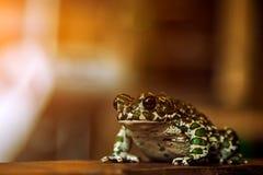 Rana manchada verde imagen de archivo libre de regalías