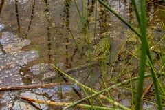 rana manchada verde que se sienta en cañas y agua imagen de archivo
