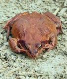 Rana marrón grande Fotografía de archivo libre de regalías