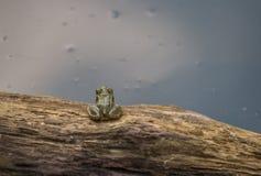 Rana minuscola e la superficie dell'acqua Fotografie Stock