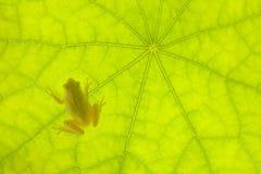 Rana molto piccola su un foglio verde Fotografia Stock Libera da Diritti