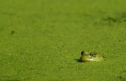 Rana mugidora y algas Foto de archivo