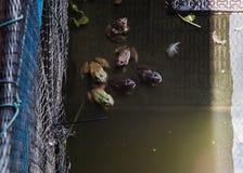 Rana nell'acqua Fotografia Stock