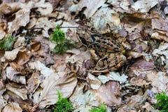 Rana nella fine della foresta su Fotografie Stock Libere da Diritti