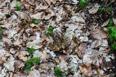 Rana nella fine della foresta su Fotografia Stock