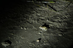 Rana nella notte - giunzione di Sukau Fotografie Stock Libere da Diritti
