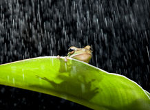 Rana nella pioggia Fotografia Stock Libera da Diritti