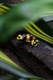 Rana nera & gialla del dardo Fotografia Stock