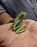 Rana observada rojo Costa Rica America Central fotografía de archivo