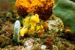 Rana pescatrice Warty Fotografie Stock