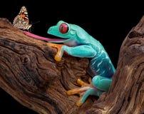 Rana que intenta coger la mariposa Imagenes de archivo