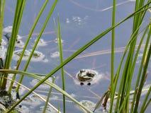 Rana que mira fuera del agua en hábitat natural del lago imágenes de archivo libres de regalías