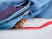 Rana que oculta debajo de una chaqueta Fotos de archivo
