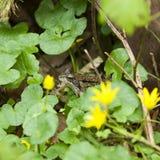 Rana que oculta en algunas plantas Foto de archivo
