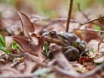 Rana que oculta en las hojas Fotos de archivo