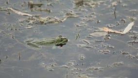Rana que se sienta en el pantano metrajes