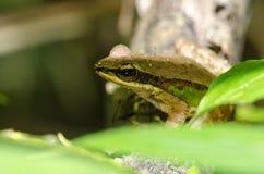 Rana que se sienta en un follaje verde hermoso de la rama de árbol A fotografía de archivo libre de regalías
