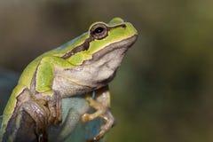Rana que se sienta verde Fotos de archivo libres de regalías