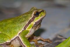 Rana que se sienta verde Foto de archivo libre de regalías