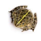 rana ridibunda żabę mokradła Obrazy Royalty Free
