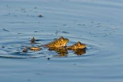 Rana ridibunda, Marsh Frog Royalty Free Stock Image