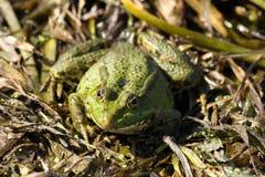 Rana ridibunda, Sumpf-Frosch Stockfotografie