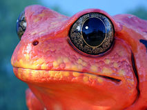 Rana roja Imagenes de archivo