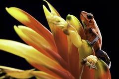 Rana roja Costa Rica del dardo del veneno de la fresa Foto de archivo libre de regalías